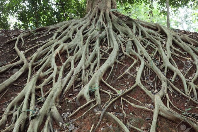 8391044-Incroyable-Chaos-Tree-Roots-Banque-d'images